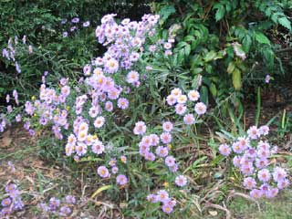 ( Asters )